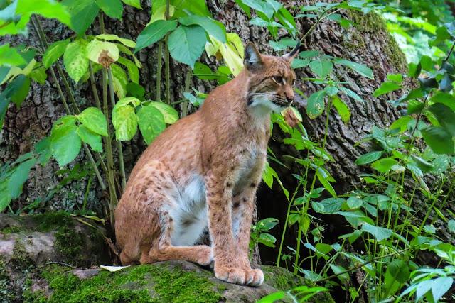 Actuele opdracht: Wolven in Nederland, Lynxen in België